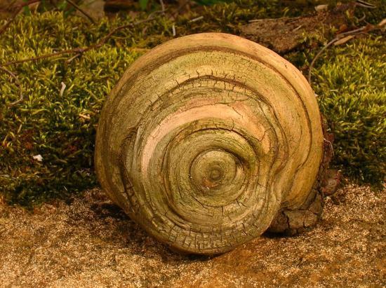 Escargot de racine de Cèdre