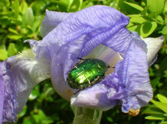 La cétoine dorée et l'Iris parfumé