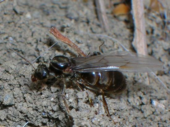 La reine des fourmis