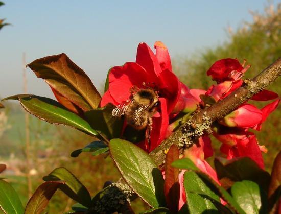Bourdon et floraison du Cognassier