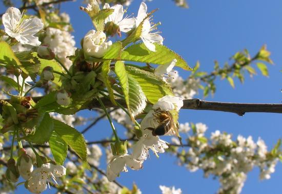 Abeille et fleurs de Cerisier