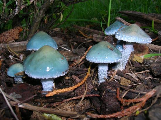 Azur de champignons